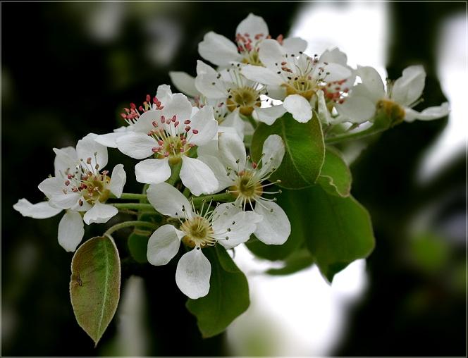 Apfelbüten