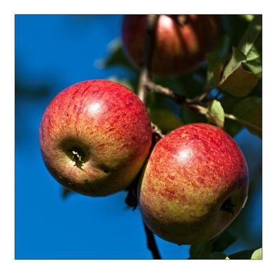 Apfelernte 1