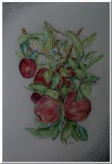 Apfelernte....