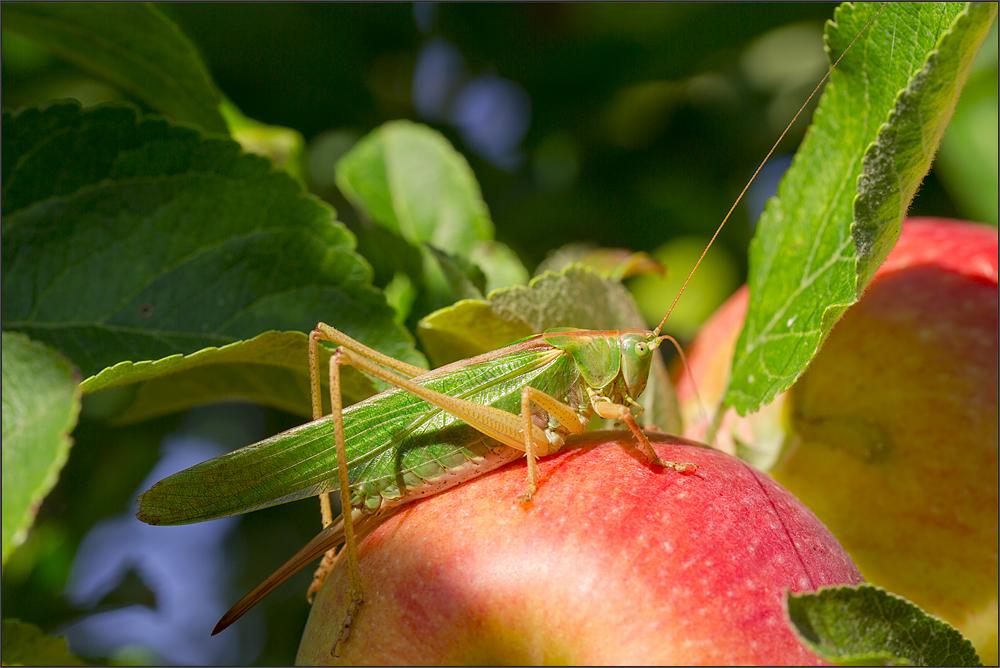Apfelerntehelfer