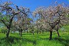 Apfelfrühling
