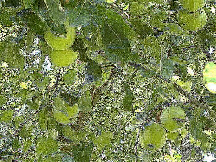 Apfelglasbaum