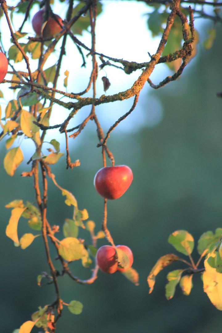 Apfelherz
