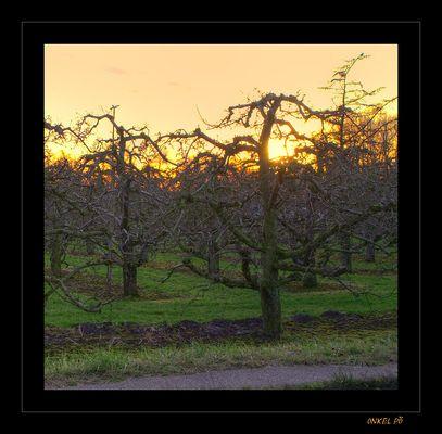 Apfelplantage im alten Land
