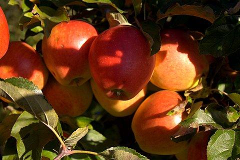 Apfelpracht