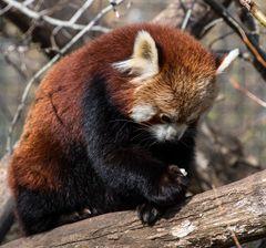 apfelrest mit pandabärchen