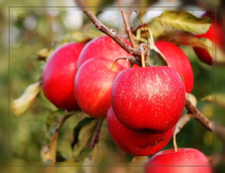 Apfelsorte Idared  - bald beginnt die Ernte