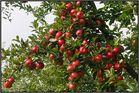 Apfeltörtchen, ...strudel, ...kuchen.....