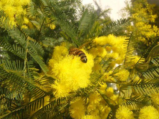 api dicembrine sulla mimosa natalizia