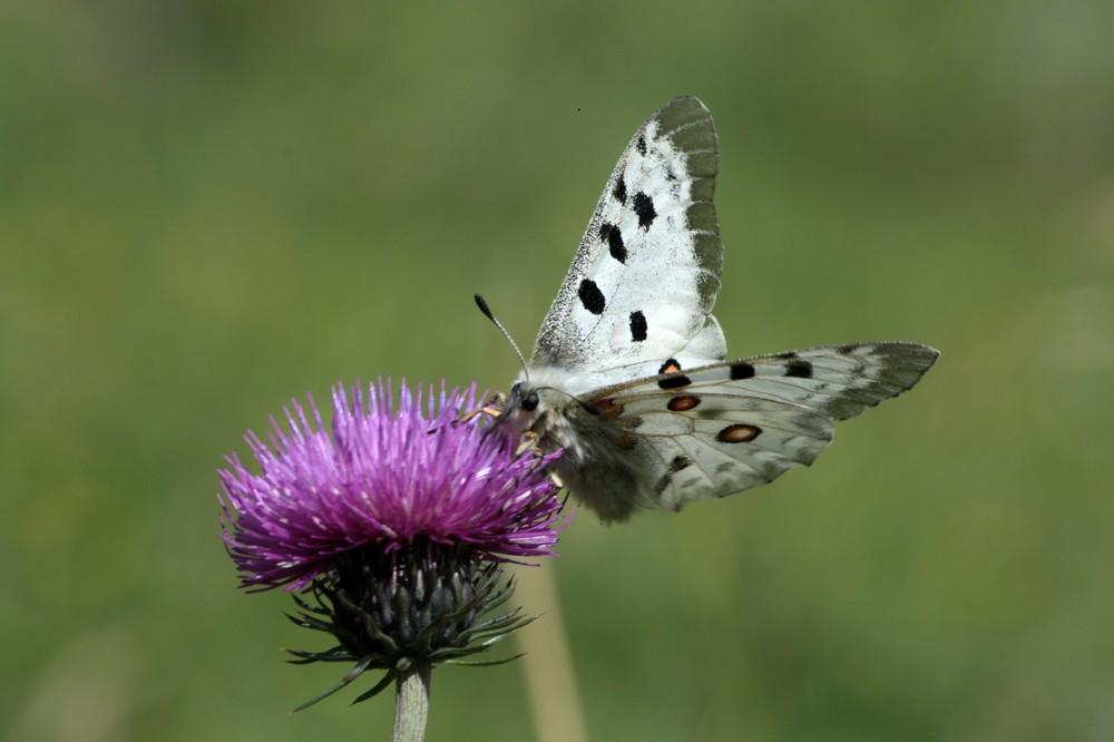 Apollon : roi des papilons ?