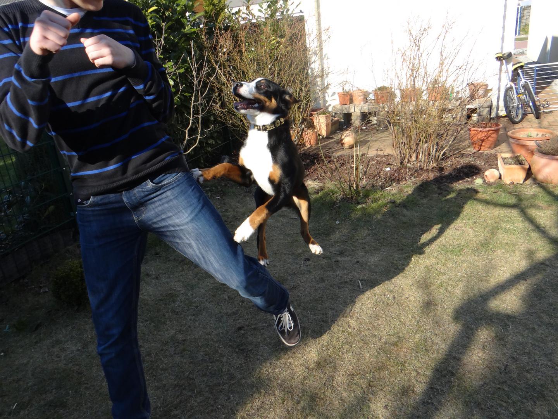 Appenzeller Sennenhund Schnappschuss