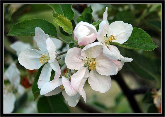 Apple tree (flower)