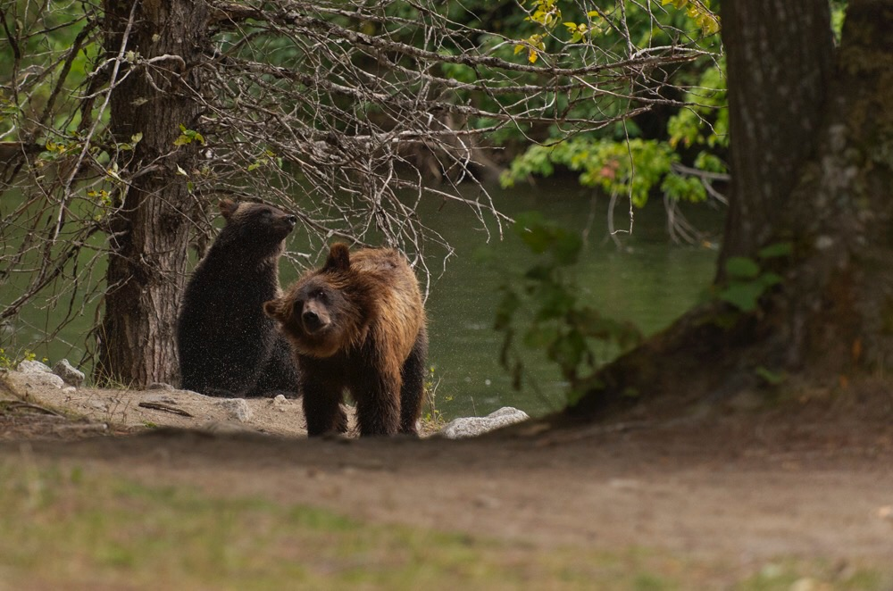 approaching grizzlies