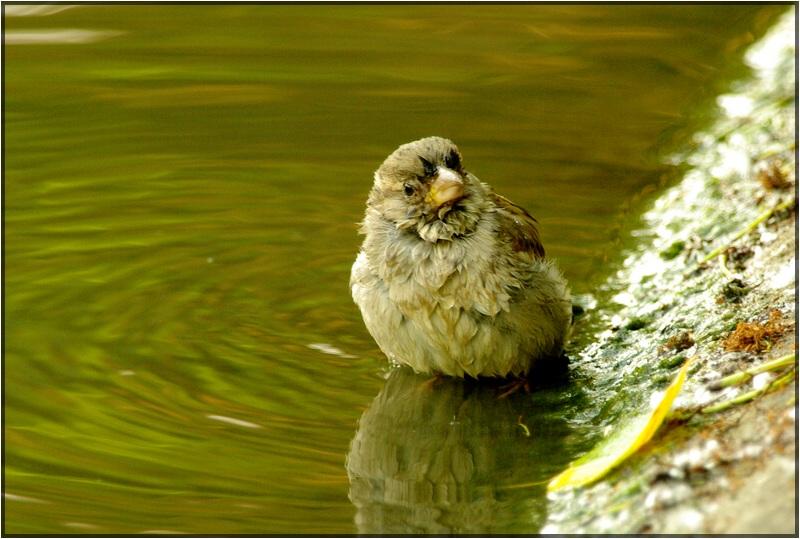 Après le bain (moineau, House Sparrow)
