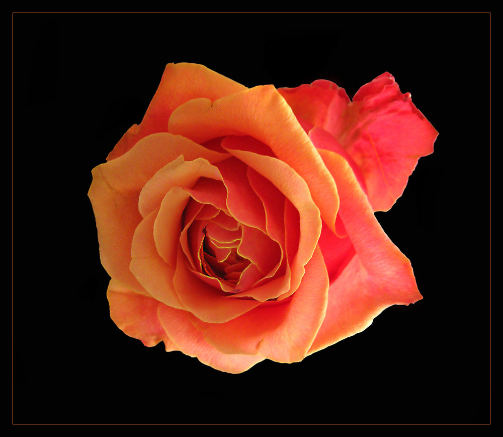 apri k rose