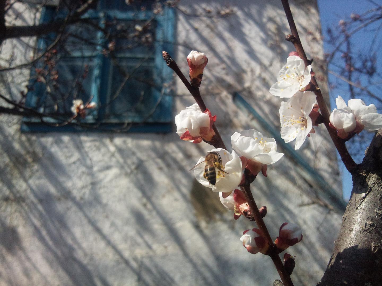 Apricot - Qaysi 2