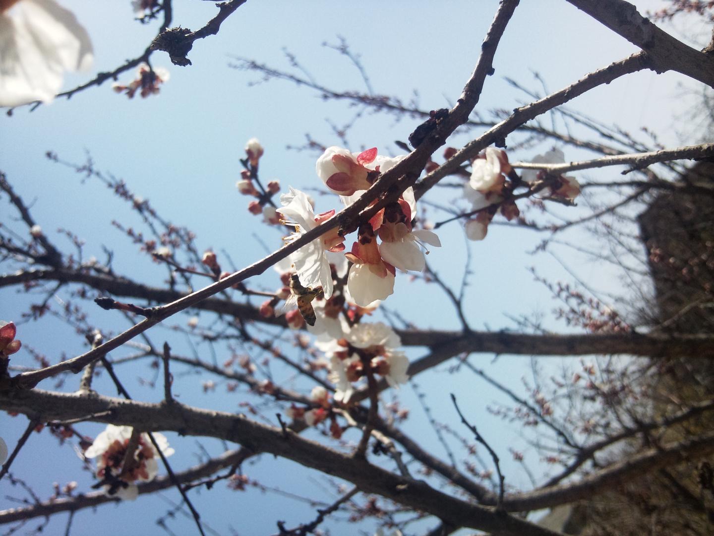 Apricot - Qaysi 3