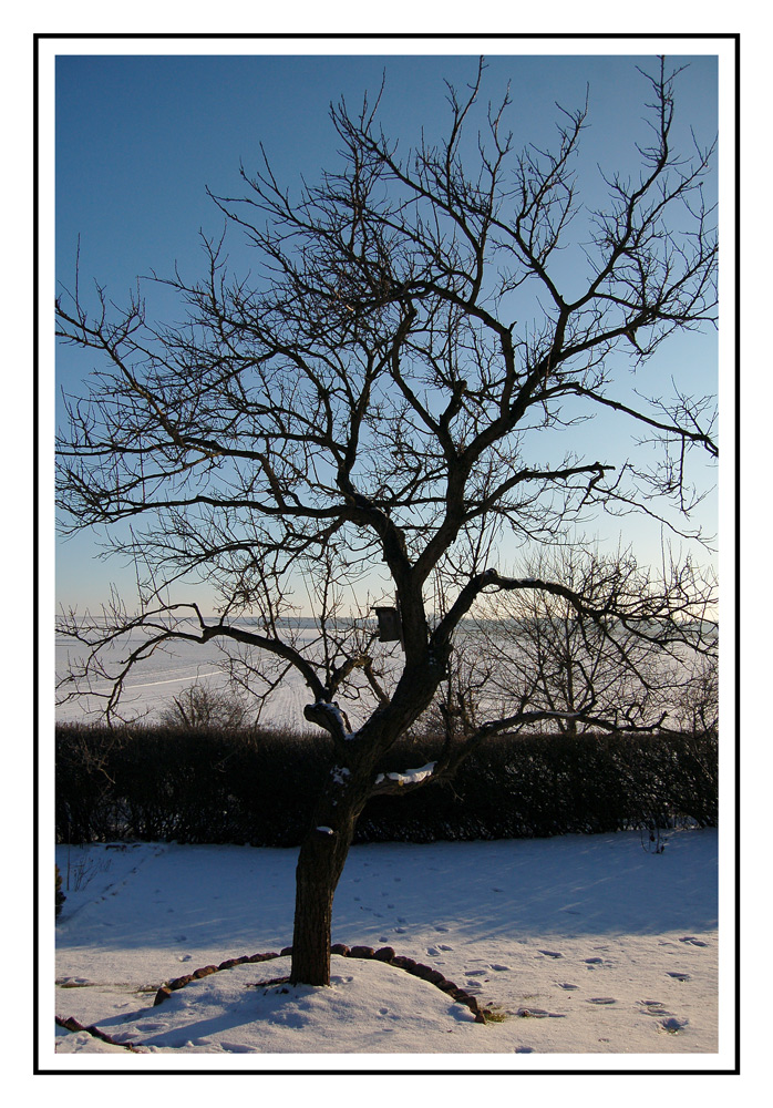 Aprikose im Winter