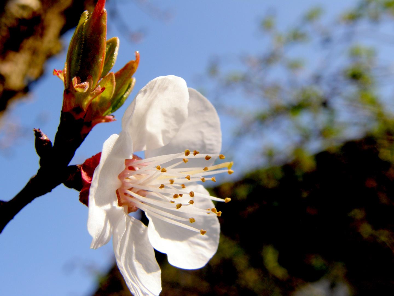 Aprikosenbaum, die erste Blüte...