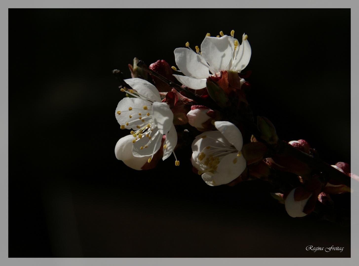 Aprikosenblüte 2