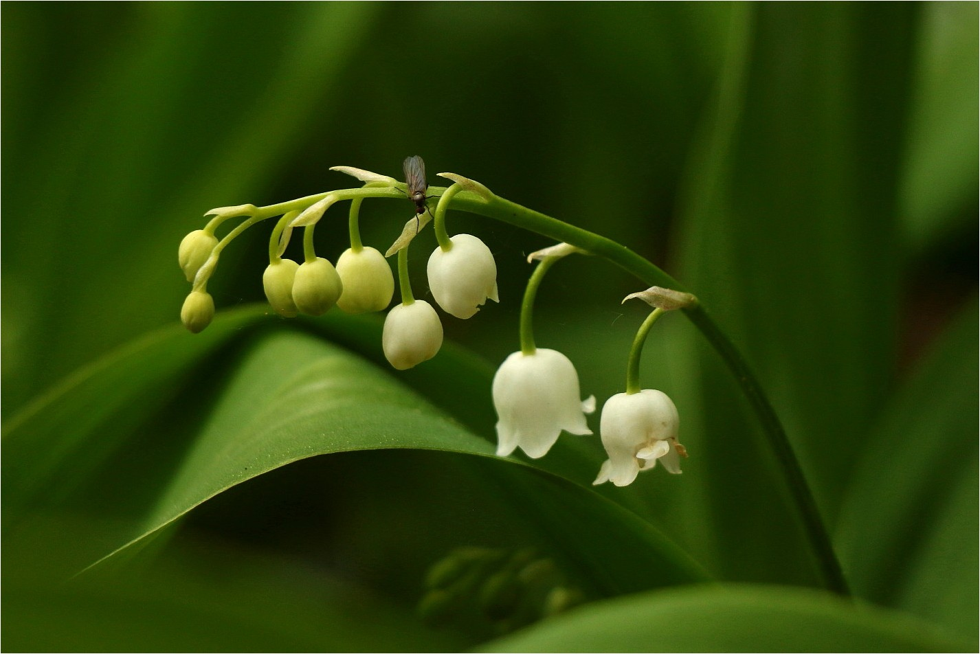 April-Maiglöckchen