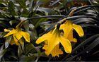 Aprilglocken - Narcissus (genus)