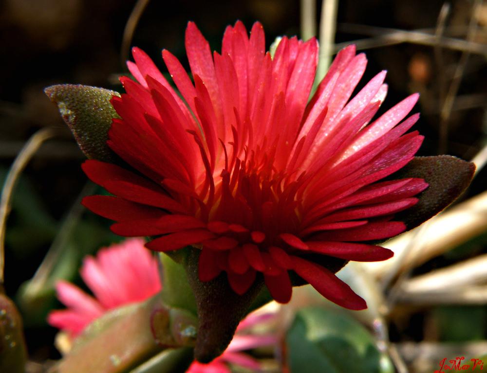 Aptenia cordiflora, las llamas que no queman.-