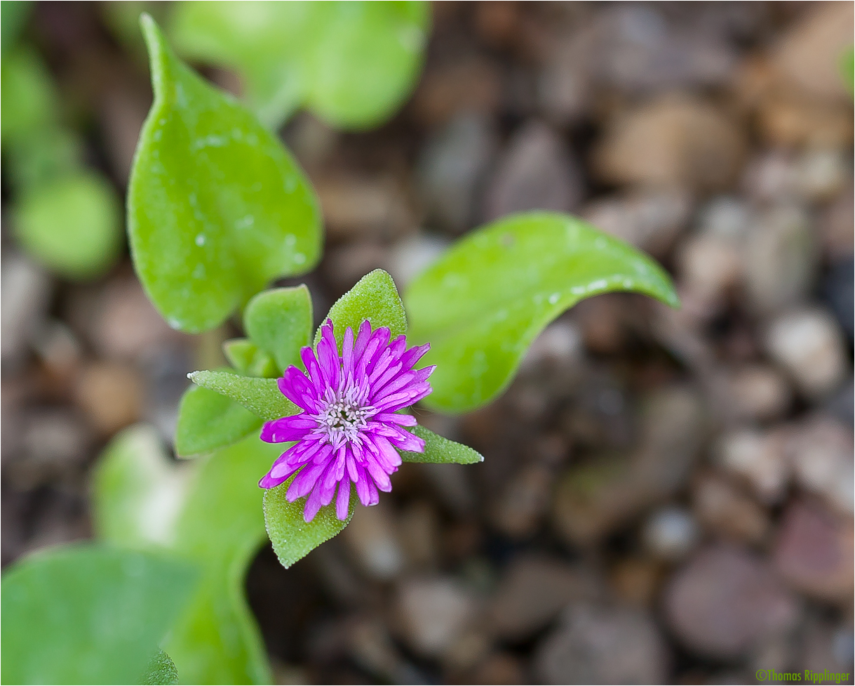 Aptenia cordifolia Mittagsblume