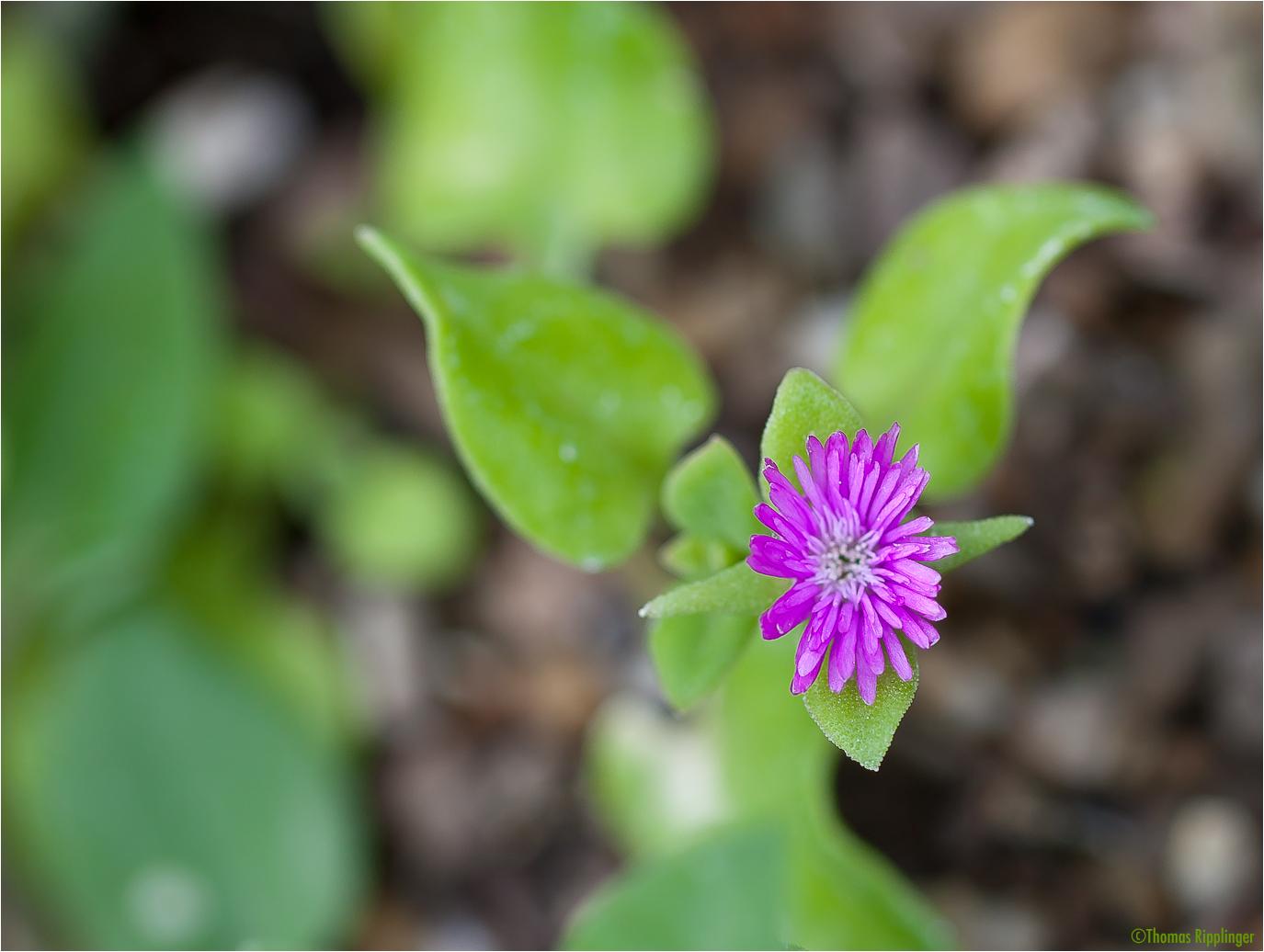 Aptenia cordifolia Mittagsblume.