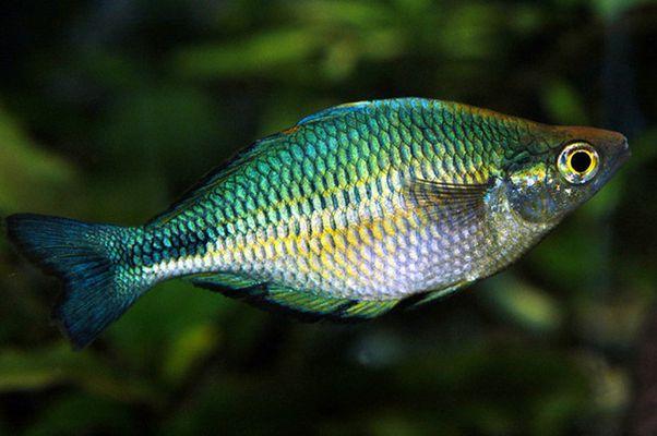 Aquamarin Regenbogenfisch