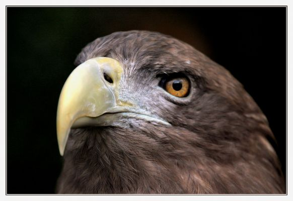 Aquila di mare a coda bianca