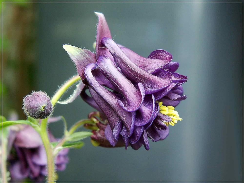 Aquilegia vulgaris...