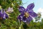 Aquilegia vulgaris L. (Ancolie commune)