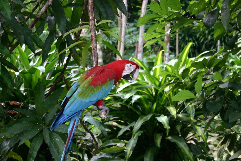 Ara en forêt amazonienne
