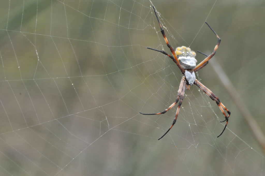 Araña Calavera