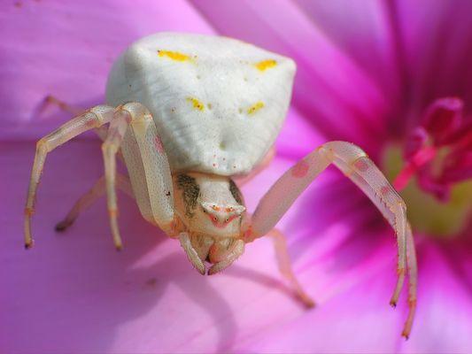 Araña Cangrejo (Thomisus onustus)