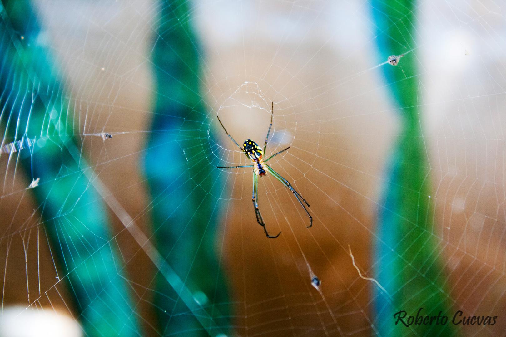 Araña Colorida