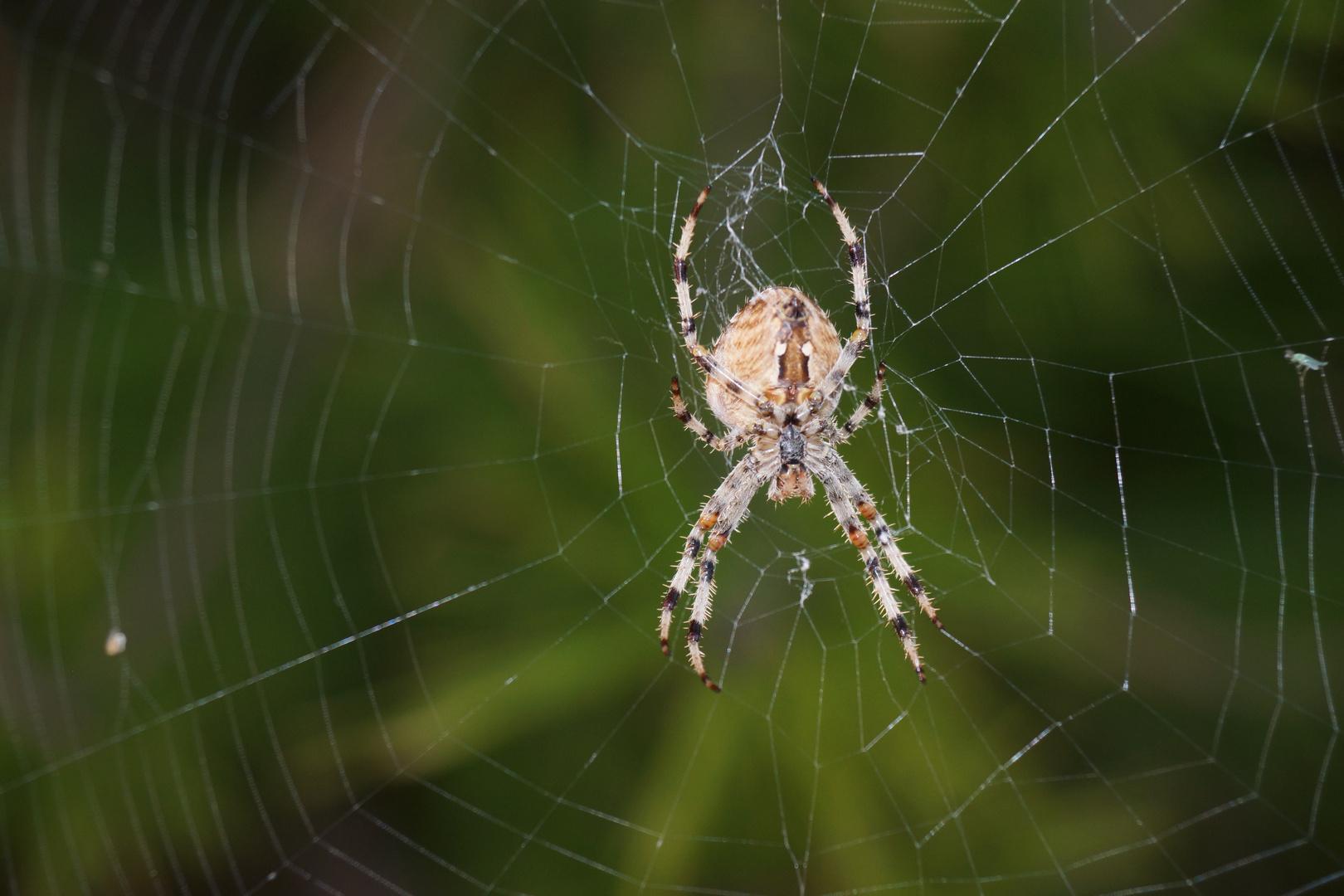 Araña de la cruz. Araneus Diadematus. European garden spider. 6