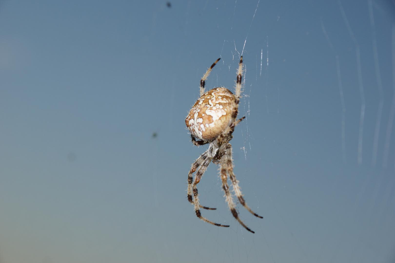 Araña de la cruz. Araneus Diadematus. European garden spider. 7