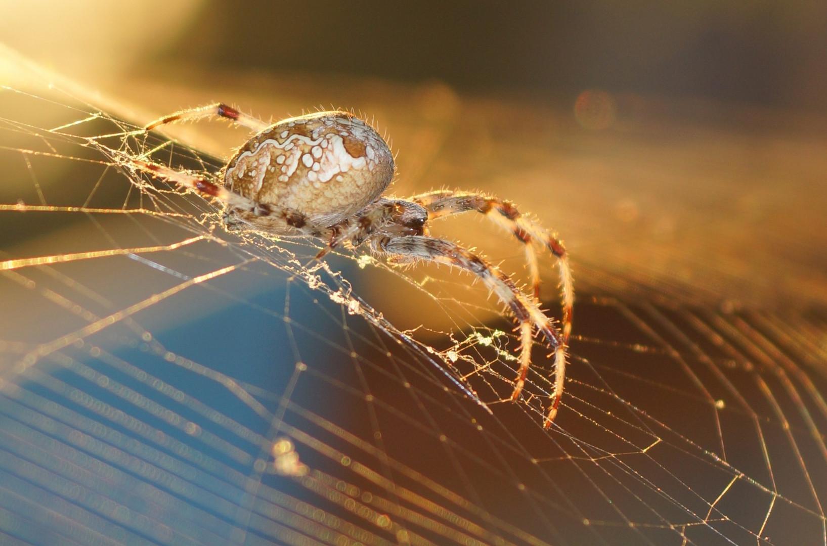 Araña de la cruz. Araneus Diadematus. European garden spider.