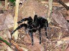 Araña en Tambopata, selva de Perú