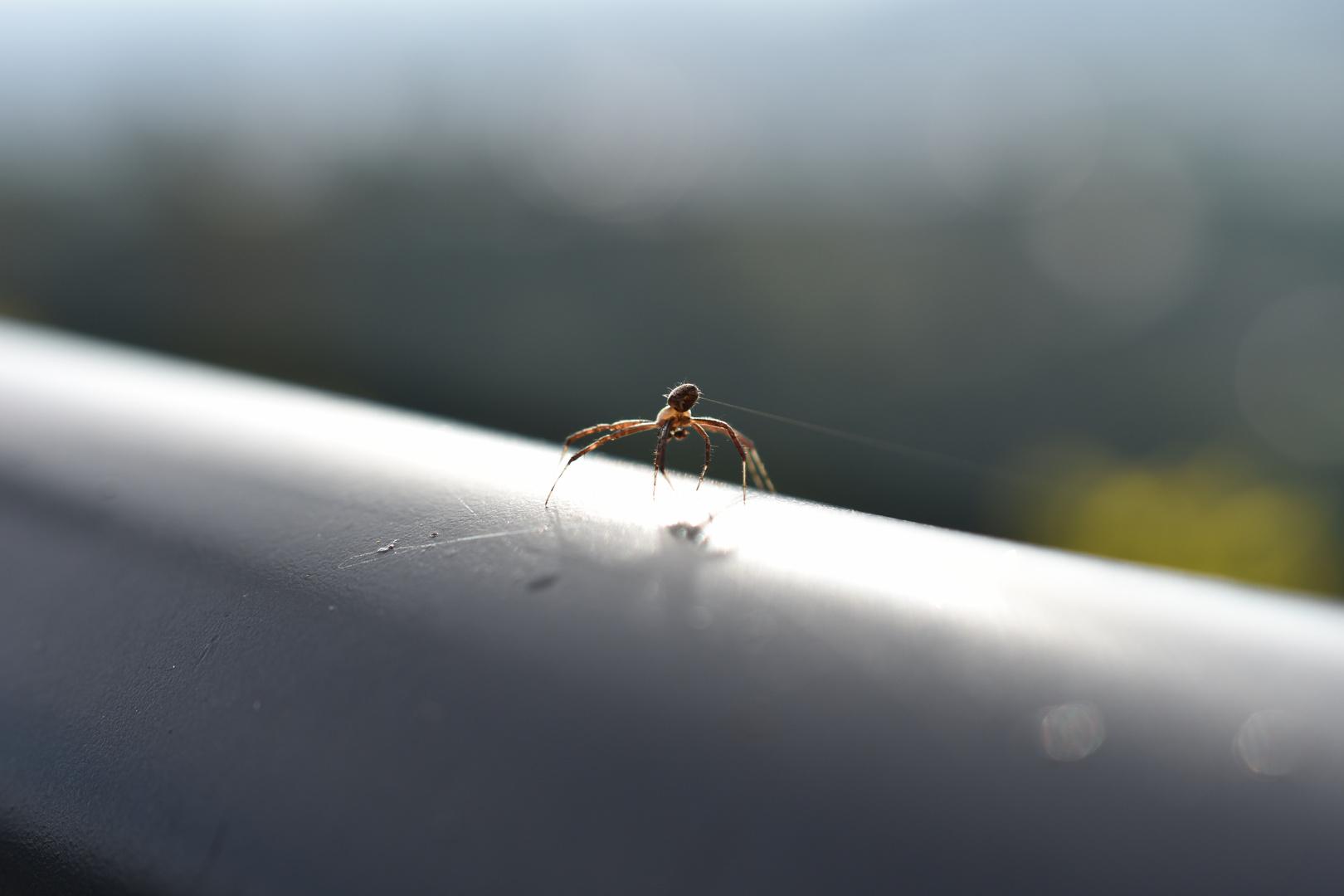 Araña fabricando tela.