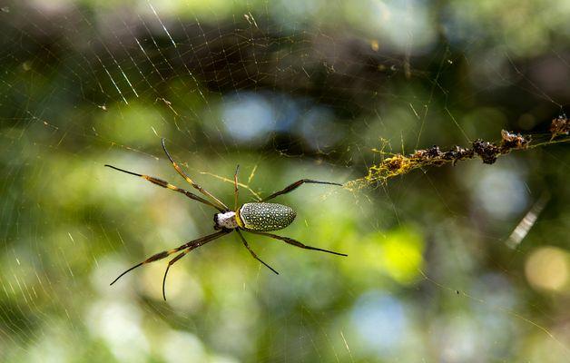 Araña Nephila clavipes