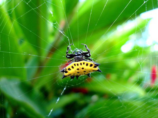 Araña tejedora