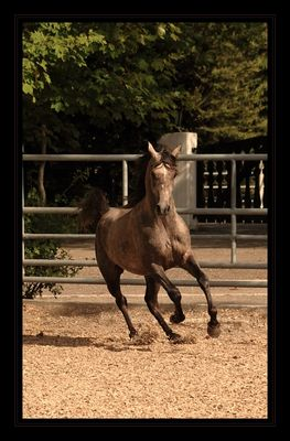 *Arab stallion*