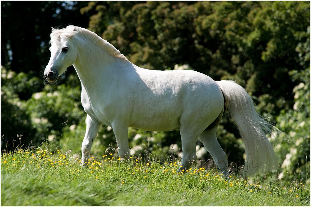 arabello dass kleine weisse pony foto bild tiere haustiere pferde esel maultiere. Black Bedroom Furniture Sets. Home Design Ideas