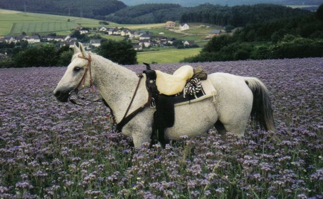 araberstute im lila feld