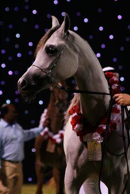 Arabian Horse at Ajman Show UAE 2010