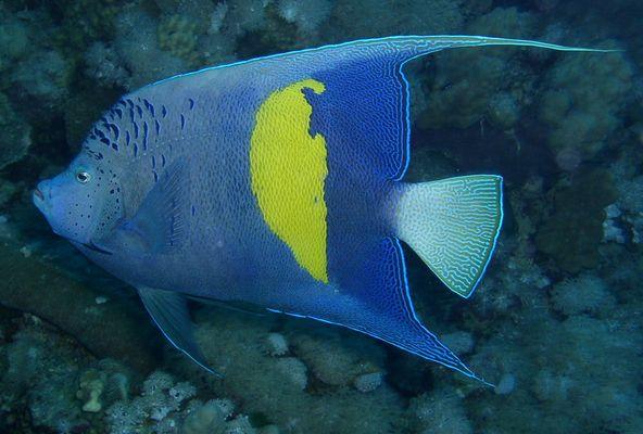 Arabischer Kaiserfisch