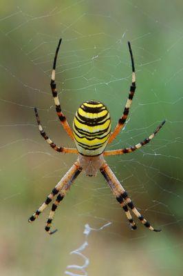 Arachnéenne d' Aragon